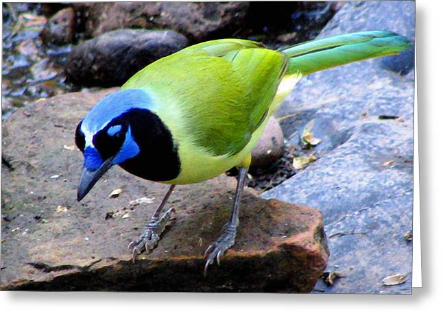 Bird Photography Greeting Cards - Green Jay Greeting Card by Evelyn Patrick