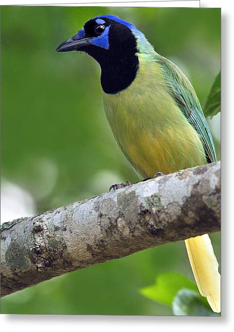Neotropics Greeting Cards - Green Jay Greeting Card by Tony Beck