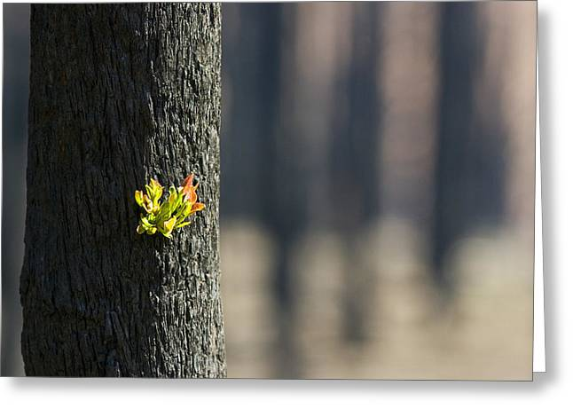Back To Life Greeting Cards - Green Leaves Sprout From Eucalyptus Greeting Card by Jason Edwards