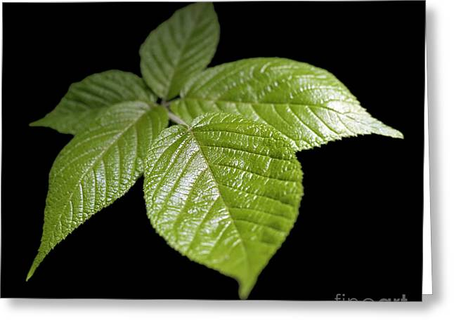 Photosynthesis Greeting Cards - Green Leaves Greeting Card by Tony Cordoza