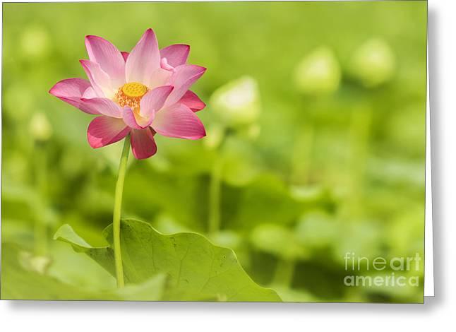 Reflex Greeting Cards - Green lotus selective focust Greeting Card by Anek Suwannaphoom