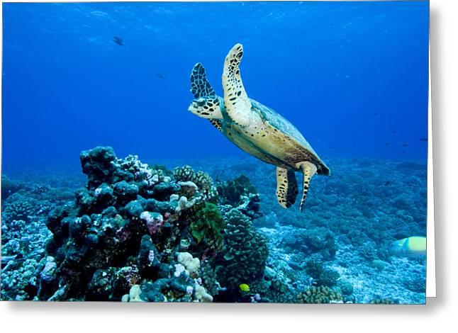 Green Sea Turtle Greeting Cards - Green Sea Turtle Chelonia Mydas Greeting Card by Tim Laman