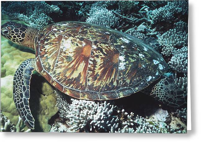 Protected Sea Life Greeting Cards - Green Sea Turtle Greeting Card by Georgette Douwma