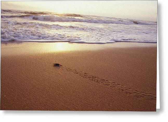 Tropical Island Greeting Cards - Green Sea Turtle Hatchlings Race Greeting Card by Jason Edwards