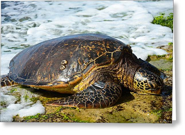 Turtle Pyrography Greeting Cards - Green Sea Turtle of Hawaii Greeting Card by Shirley Tinkham