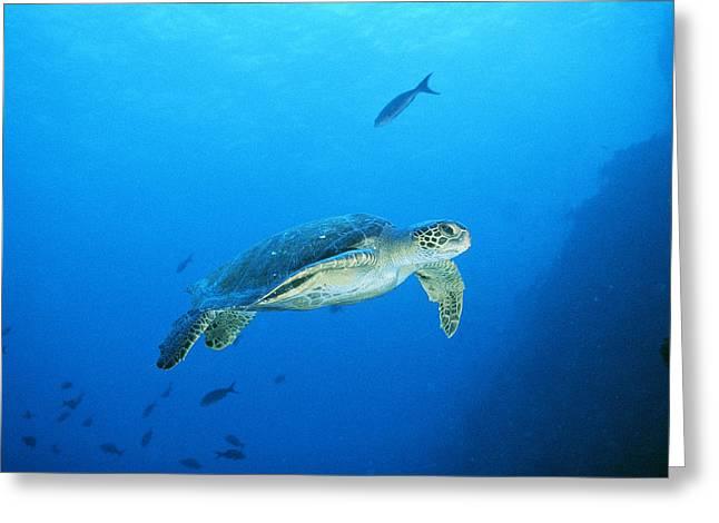 Sipadan Greeting Cards - Green Sea Turtle, Off Sipadan Island Greeting Card by Joe Stancampiano