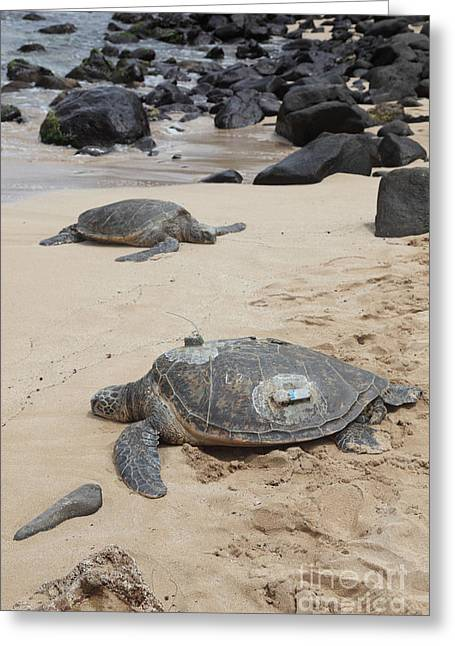 Gps Greeting Cards - Green Sea Turtles With Gps Greeting Card by Ted Kinsman