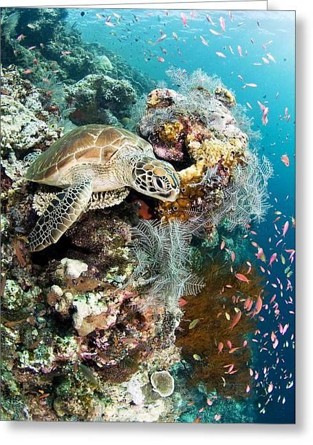 Sipadan Greeting Cards - Green Turtle Greeting Card by Matthew Oldfield