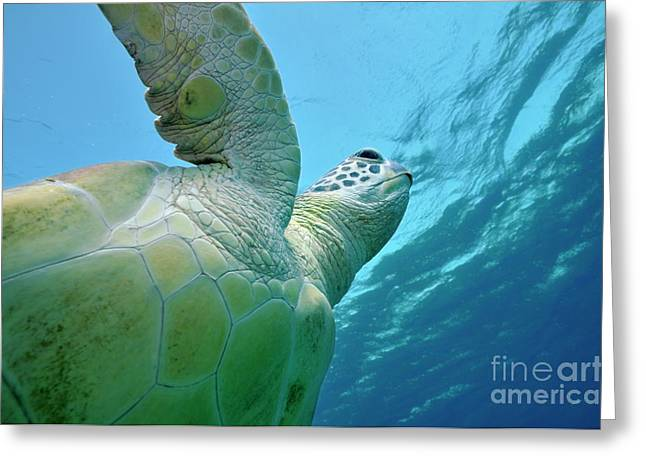 Undersea Photography Greeting Cards - Green turtle moving up to breath Greeting Card by Sami Sarkis