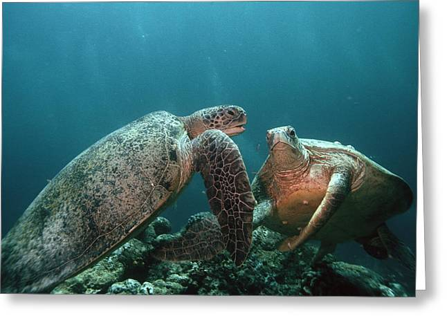 Protected Sea Life Greeting Cards - Green Turtles Greeting Card by Georgette Douwma