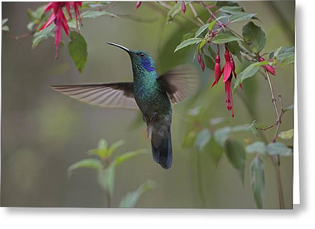 Hovering Greeting Cards - Green Violet Ear Hummingbird Foraging Greeting Card by Tim Fitzharris