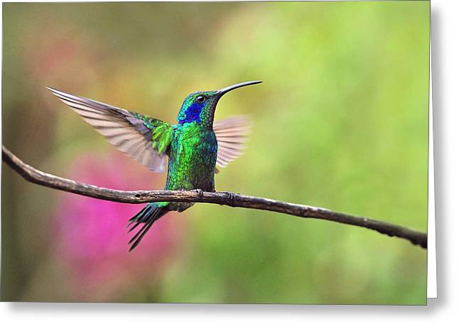 Neotropics Greeting Cards - Green Violetear in the Garden Greeting Card by Tony Beck