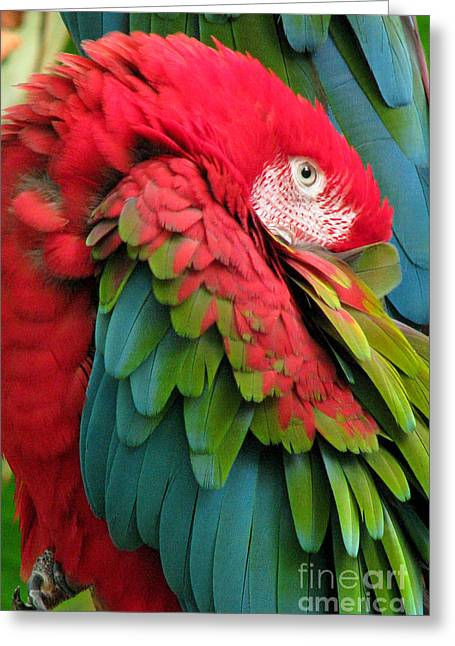Mccaw Greeting Cards - Green-winged Macaws Greeting Card by Frank Townsley