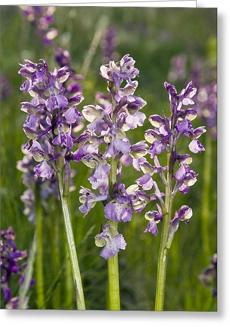 Purple. Wild Orchid Greeting Cards - Green-winged Orchid (orchis Morio) Greeting Card by Paul Harcourt Davies