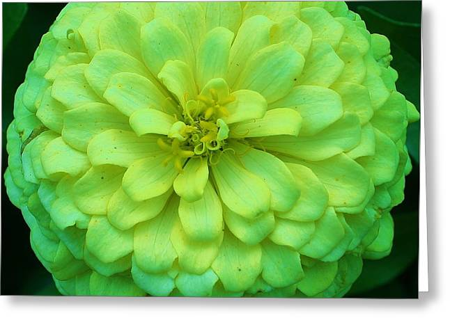 Zinna Greeting Cards - Green with Envy 1 Greeting Card by Bruce Bley