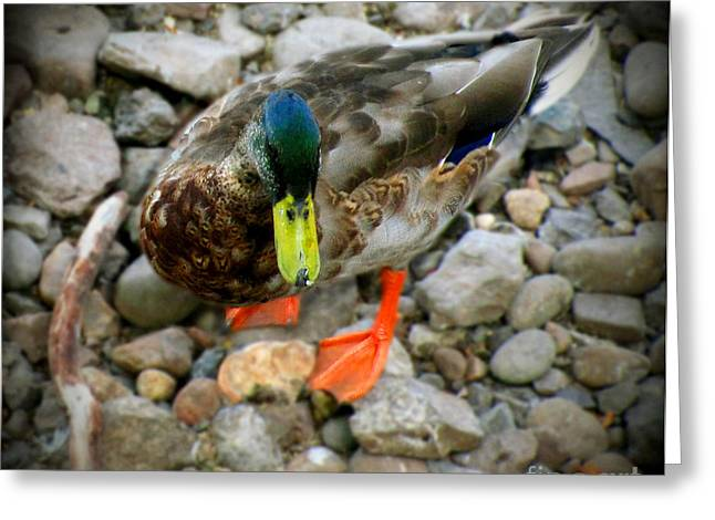 Original Art Photographs Greeting Cards - Greenhead Greeting Card by Colleen Kammerer