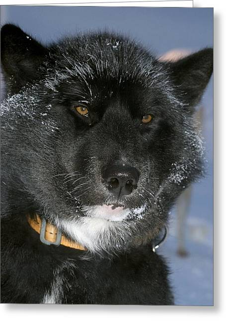 Arctic Dogsledge Patrol Greeting Cards - Greenlandic Sledge Dog Greeting Card by Louise Murray