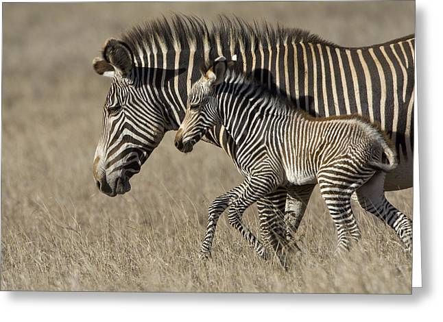 Parks And Wildlife Greeting Cards - Grevys Zebra And Foal Lewa Wildlife Greeting Card by Suzi Eszterhas
