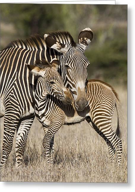 Interacting Greeting Cards - Grevys Zebra And Young Foal Lewa Greeting Card by Suzi Eszterhas