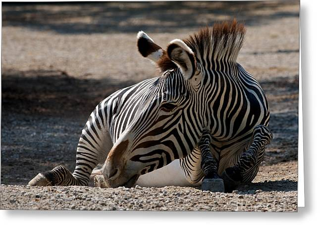 African Saint Greeting Cards - Grevys Zebra Greeting Card by Chris  Brewington Photography LLC