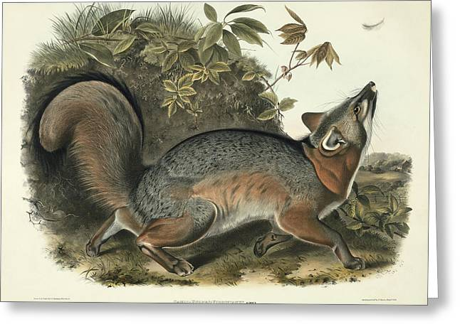 1843 Greeting Cards - Grey Fox Greeting Card by John James Audubon