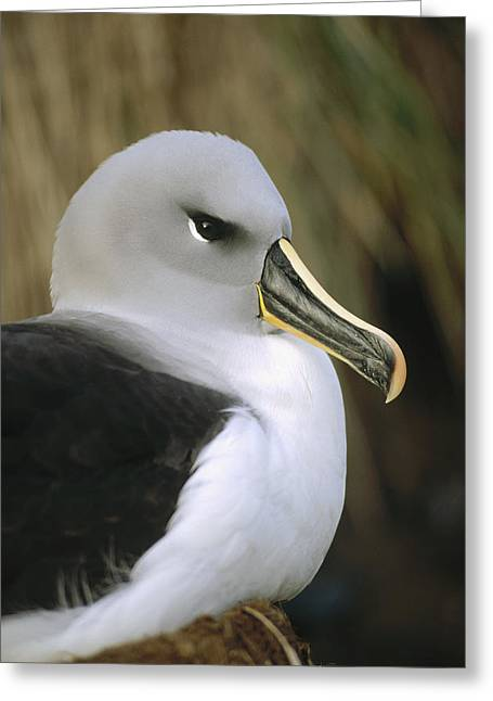 Diomedeidae Greeting Cards - Grey-headed Albatross Thalassarche Greeting Card by Tui De Roy