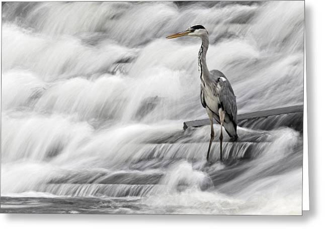 Grey Heron Greeting Cards - Grey Heron fishing in Annacotty waterfall Ireland  Greeting Card by Pierre Leclerc Photography