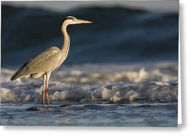 Gray Heron Greeting Cards - Grey Heron In Surf Zone Hawf Protected Greeting Card by Sebastian Kennerknecht