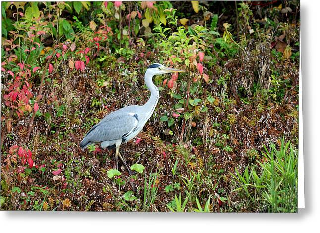 Grey Heron Greeting Cards - Grey heron in the colorful autumn leaves Greeting Card by Pierre Leclerc Photography