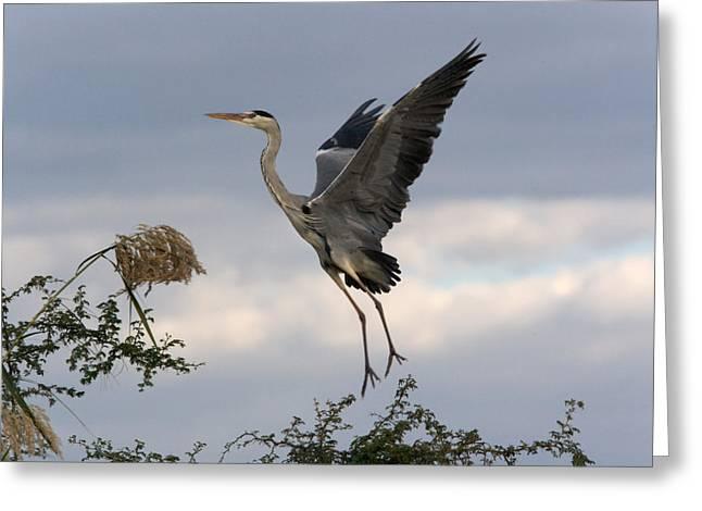 Grey Heron Greeting Cards - Grey Heron Greeting Card by Johan Elzenga