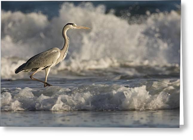 Gray Heron Greeting Cards - Grey Heron Wading In Surf Zone Hawf Greeting Card by Sebastian Kennerknecht