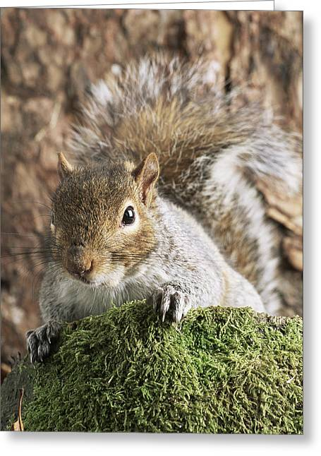 Sciurus Carolinensis Greeting Cards - Grey Squirrel Greeting Card by David Aubrey
