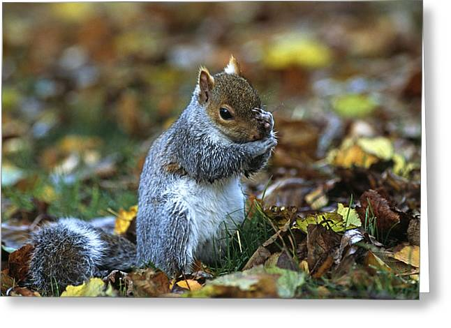 Sciurus Carolinensis Greeting Cards - Grey Squirrel Greeting Card by Don Hooper