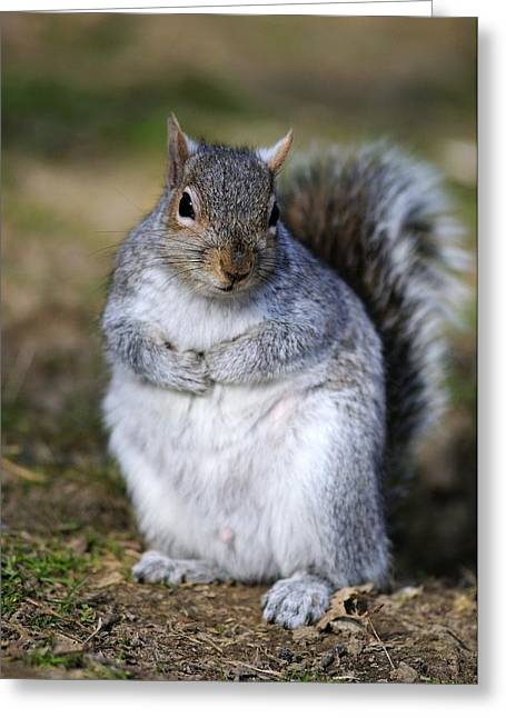 Sciurus Carolinensis Greeting Cards - Grey Squirrel Sitting On The Ground Greeting Card by Colin Varndell