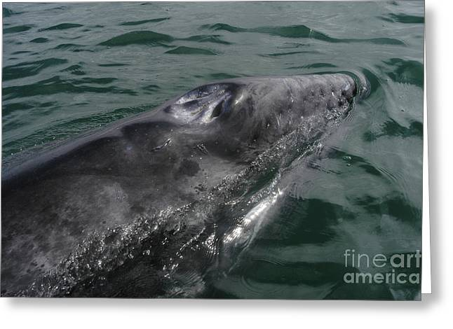 Whale Photographs Greeting Cards - Grey Whale Calf Greeting Card by Raul Gonzalez Perez