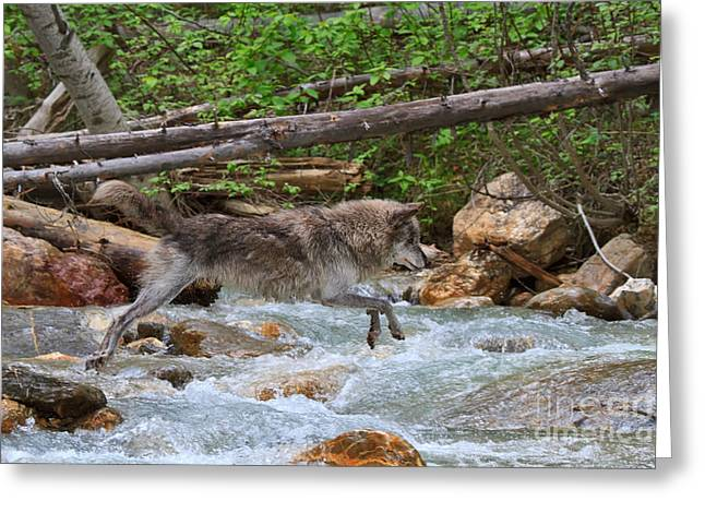 Wolf Creek Greeting Cards - Grey wolf crossing a mountain stream Greeting Card by Louise Heusinkveld