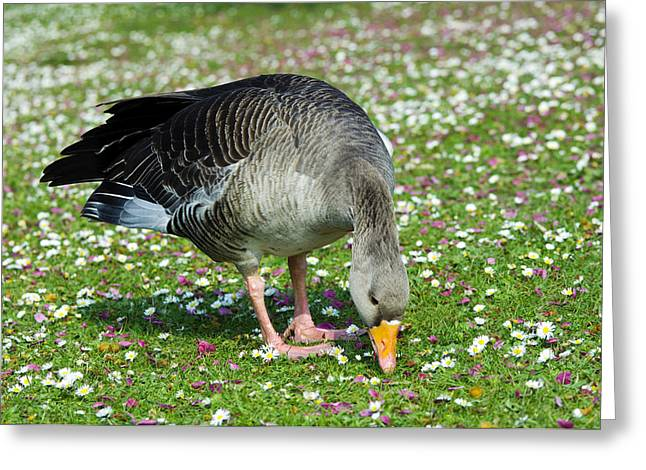 Bellis Greeting Cards - Greylag Goose Greeting Card by Georgette Douwma