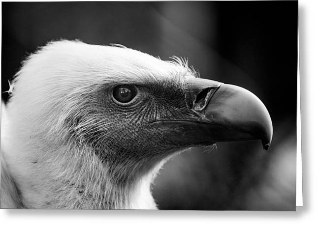 Griffon Greeting Cards - Griffon Vulture Greeting Card by Hakon Soreide