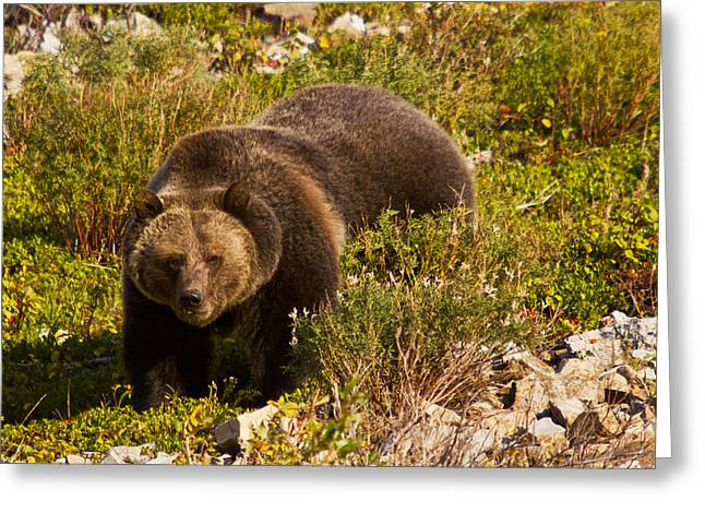 Many Glacier Greeting Cards - Grizzly 1 Greeting Card by Mark Kiver