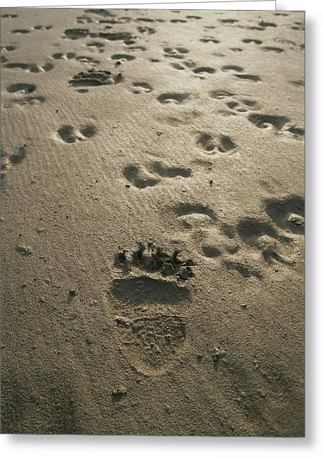 Bear Tracks Greeting Cards - Grizzly Bear And Caribou Tracks, Firth Greeting Card by Michael Melford