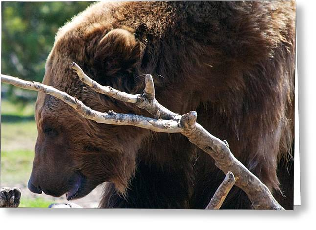 Montana Greeting Cards Greeting Cards - Grizzly Bear Greeting Card by Kevin Bone
