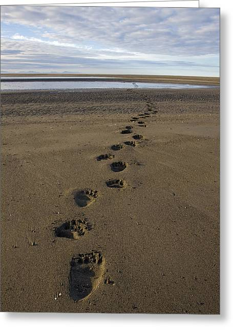Bear Tracks Greeting Cards - Grizzly Bear Tracks Greeting Card by Ingo Arndt