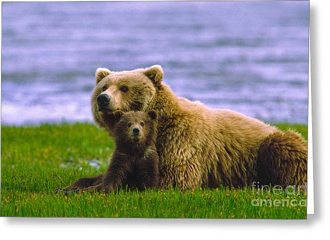 Ursidae Greeting Cards - Grizzly Bear with Cubs Greeting Card by Boyd E Norton and Photo Researchers