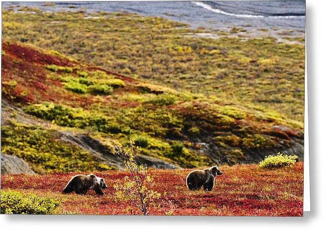 Stroll In The Park Greeting Cards - Grizzly Bears And Fall Colours, Denali Greeting Card by Yves Marcoux