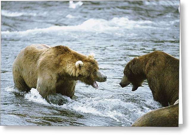 Reserve Greeting Cards - Grizzly Bears Ursus Arctos Fighting Greeting Card by Rich Reid
