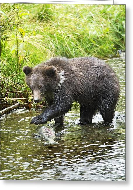Fishing Creek Greeting Cards - Grizzly Cub Catching Fish In Fish Creek Greeting Card by Richard Wear
