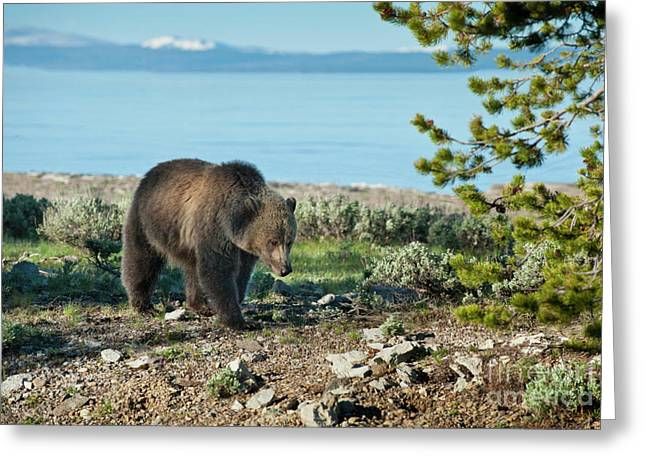 Grizzly Sow at Yellowstone Lake Greeting Card by Sandra Bronstein
