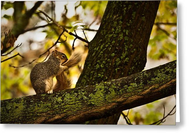 Onyonet Photo Studios Greeting Cards - Grooming Grey Squirrel Greeting Card by  Onyonet  Photo Studios