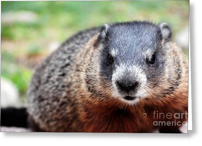 Groundhog Photographs Greeting Cards - Groundhog Greeting Card by Charline Xia