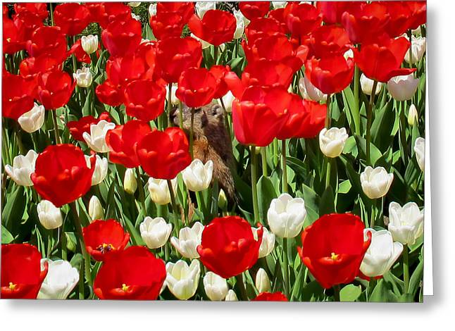 Groundhog Day - A Curious Marmot Peeking Through Luminous Red And White Spring Tulips On A Sunny Day Greeting Card by Chantal PhotoPix